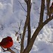 Male & Female Cardinals- Maryland Heights, MO. by showmesavings