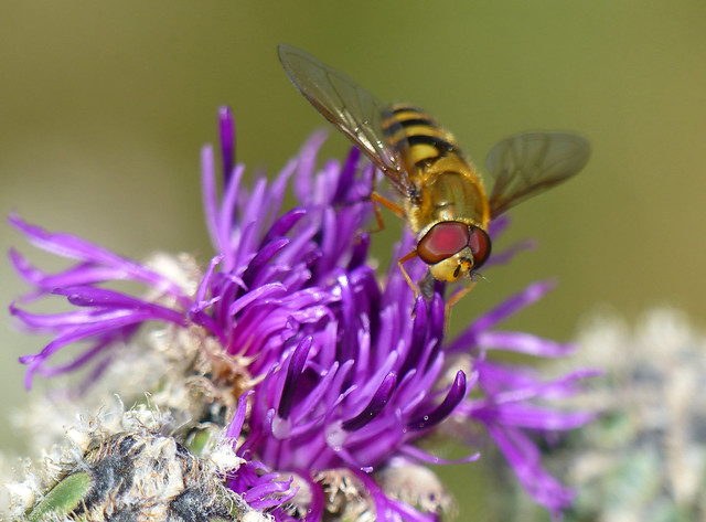 Hover-fly (Syrphus ribesii)