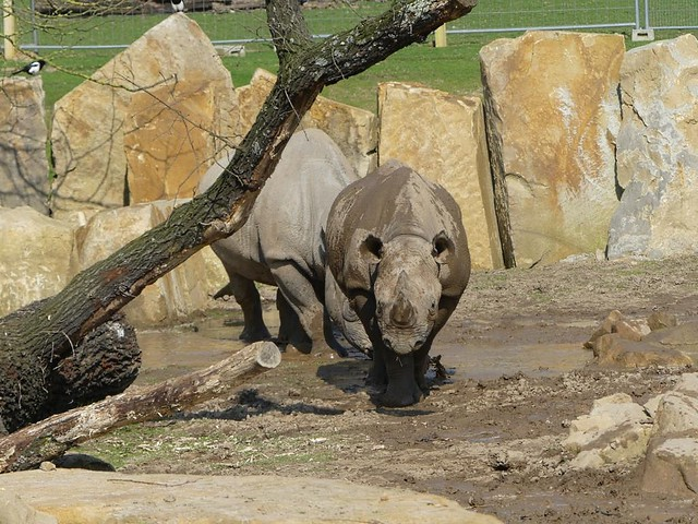 Nashorn, Zoo Krefeld