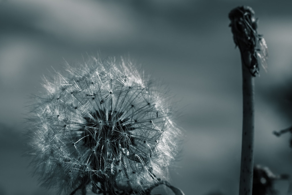 monochrome dandelion with sky