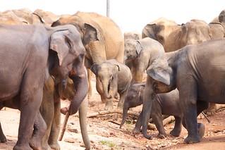 Olifantenopvang in Pinnawalla - Pinnawalla Elephant Orphanage
