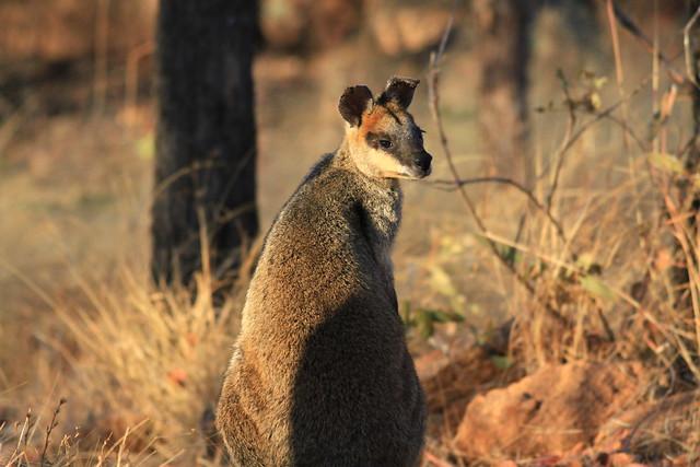 Swamp Wallaby(Black  Wallaby)澳洲昆士蘭Undara Experience-20141117-賴鵬智攝-1