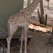 Giraffe by Marcellinissimo