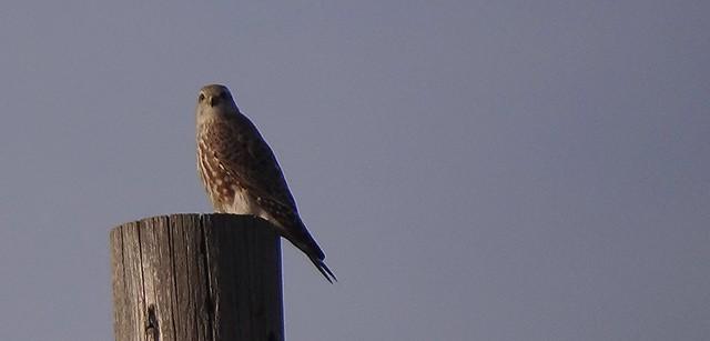 Merlin Colorado