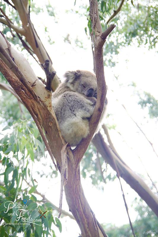 phillip island the koala conservation centre koala on tree