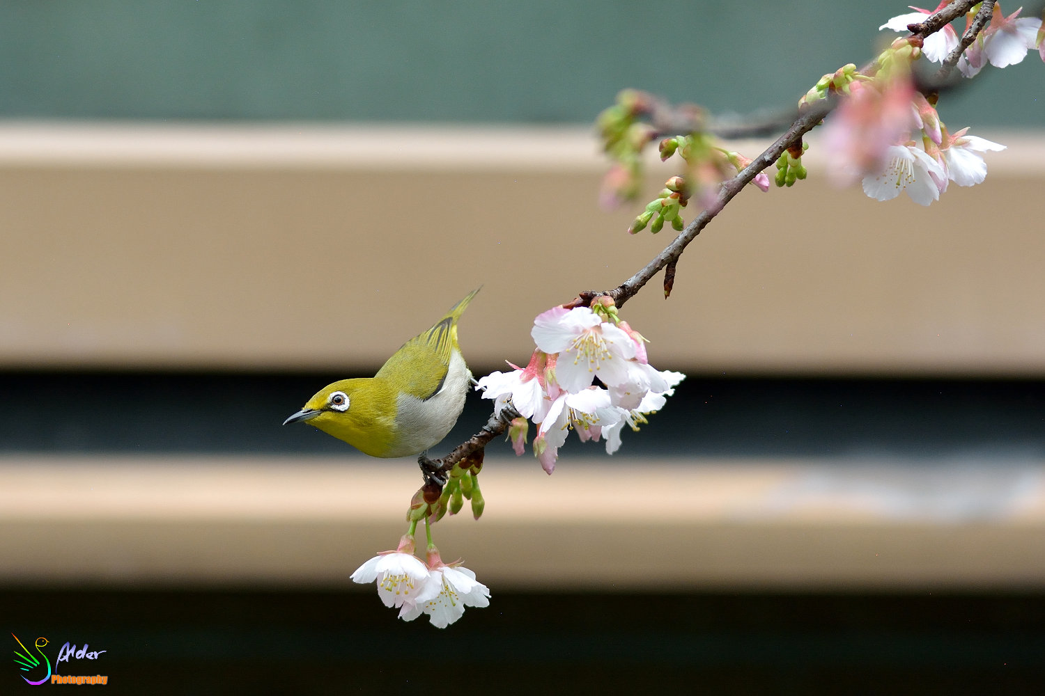 Sakura_White-eye_6662