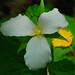 Small photo of Large-flowered Trillium (Trillium grandiflorum)