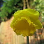 daffodil, still petticoated