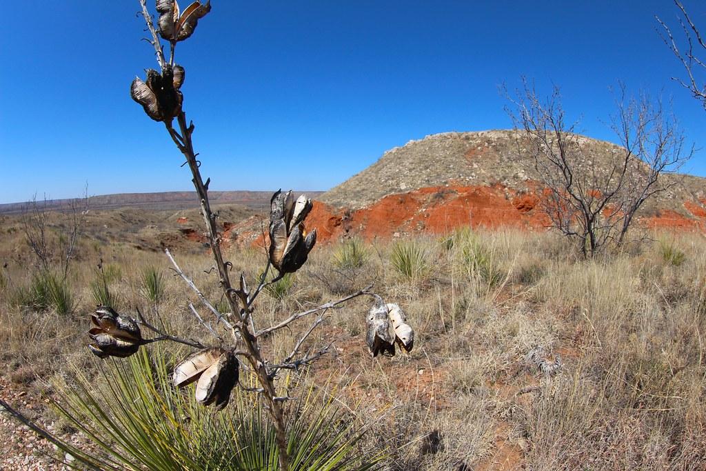 Yucca stalks along trail
