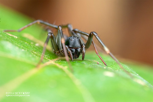 Ground spider (Zodariidae) - DSC_7432