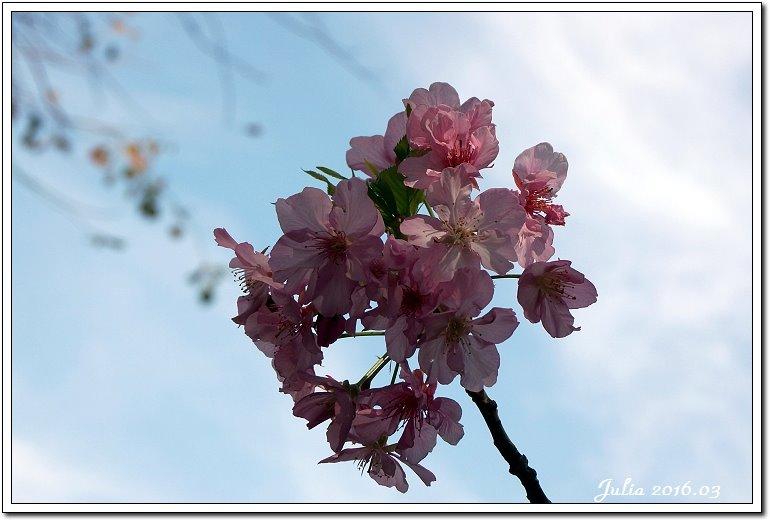 麗池公園河津櫻 (2)