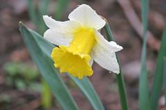 daffodil IMG_5367