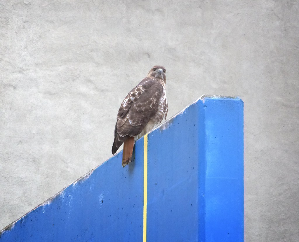 Lower East Side hawk