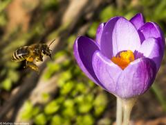 Honingbij op zoek naar nectar en stuifmeel bij de krokus