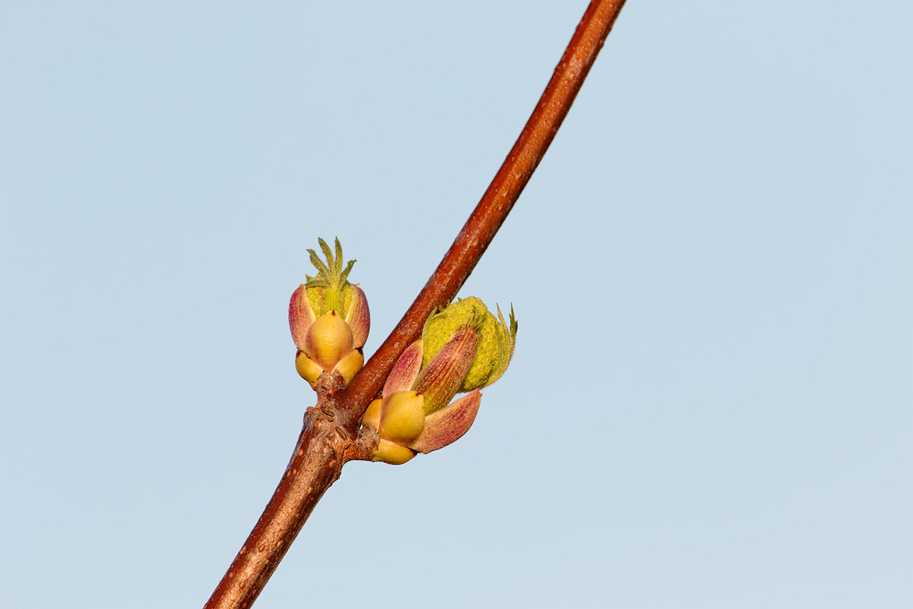 New growth emerges from a tree bud on a winter afternoon