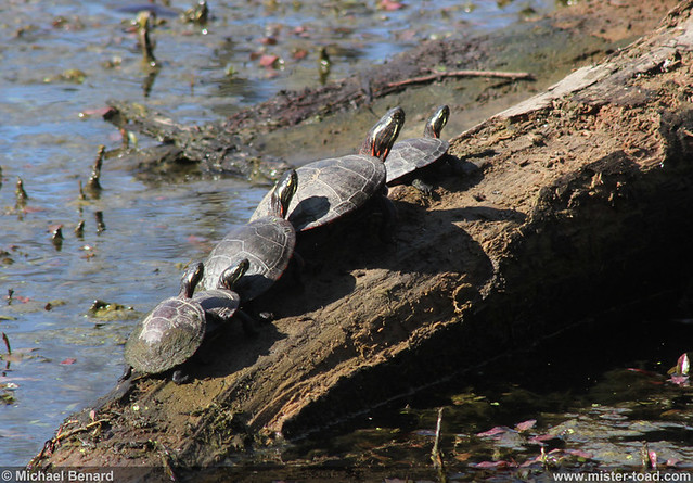 Painted Turtles in the Sun