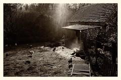 #home #chiken #duck #rain #blackandwhiteisworththefight
