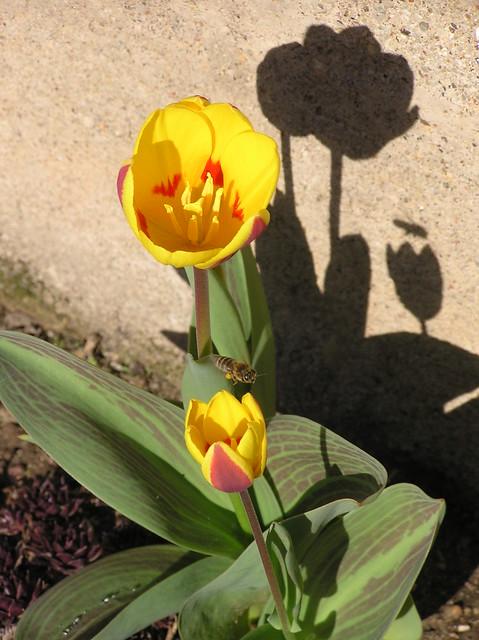 Tulip & Bee