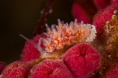 マツカサウミウシ属の一種 11