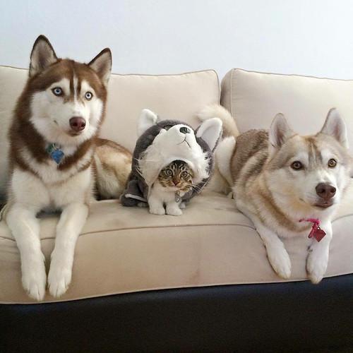 Imagen graciosa de animales gato escondido entre perros