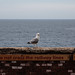 Seagull by ivan.kovacevic