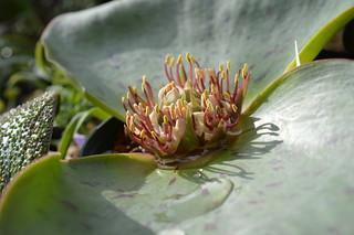 DSC_2384 Massonia latifolia マッソニア ラティフォリア