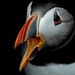 Puffin by MOZBOZ1