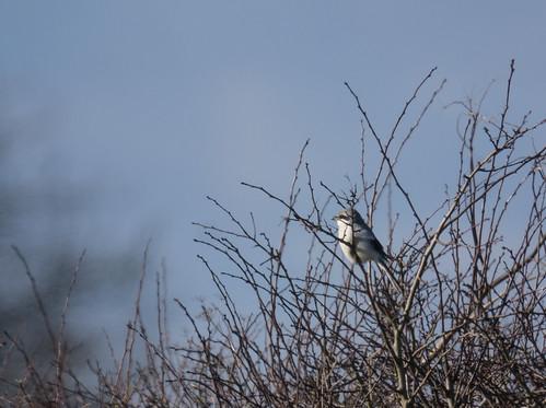 Great Grey Shrike, Poppy Hill, Langford, 18th February 2016