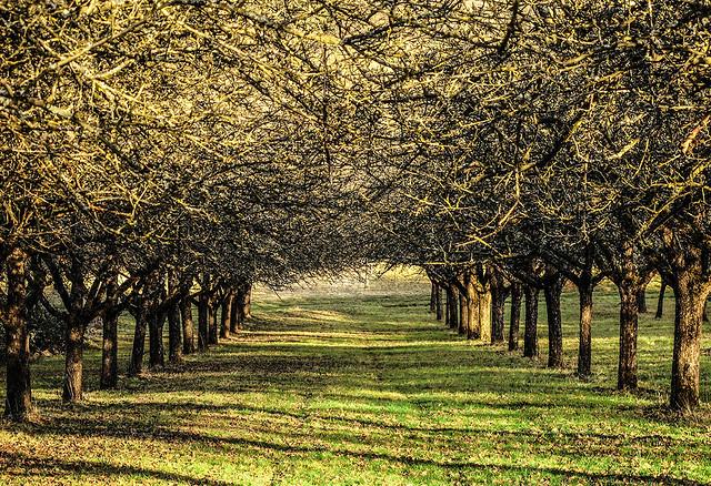 Avenue of Apple Trees