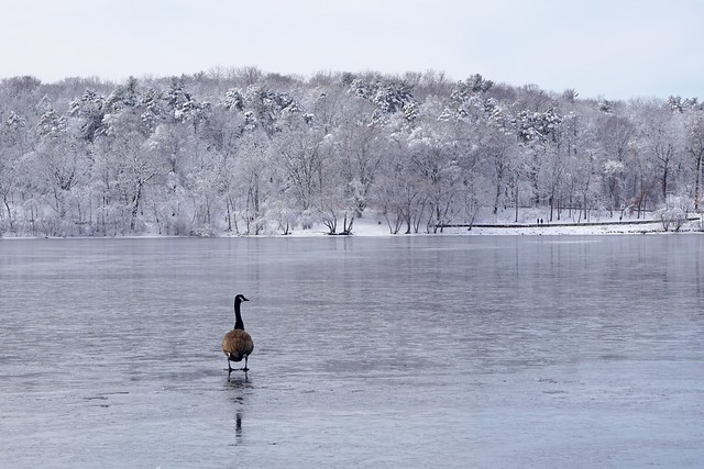 Solitary Winter Goose