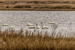 Swans at Bodie Island