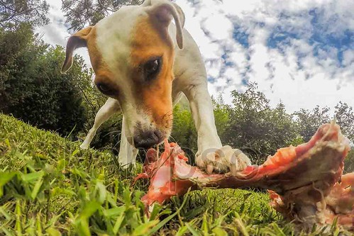 Jack Russell Terrier Female Dog Chewing A Big Bone