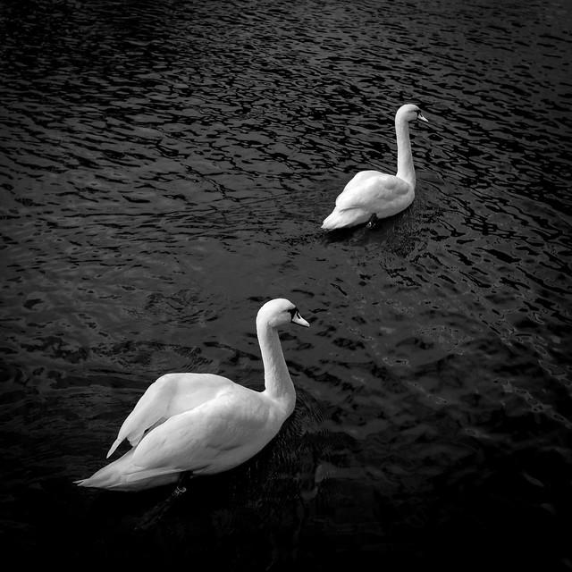 White Swans, Black Sea