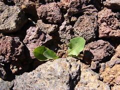 starr-090504-7169-Taraxacum_officinale-habit-Science_City-Maui