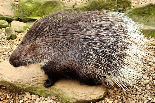 Porcupine - Shepreth Wilife Park