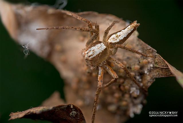 Lynx spider (Hamataliwa sp.) - DSC_6790