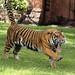 Tiger Stretch by greekgal.esm