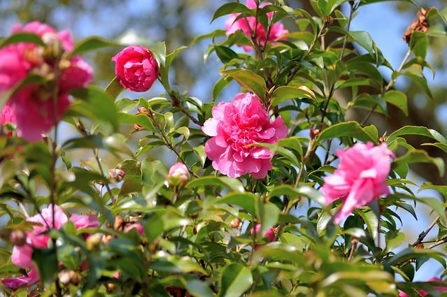 ツバキ Camellia -フクエン(福炎)