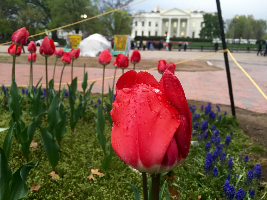 red tulip after the rain by the White House