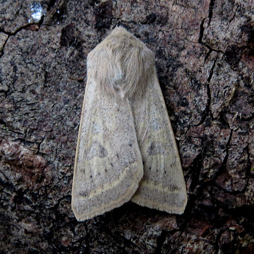 Powdered Quaker Orthosia gracilis Tophill Low NR, East Yorkshire April 2016
