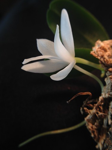 Aerangis fastuosa, first bloom