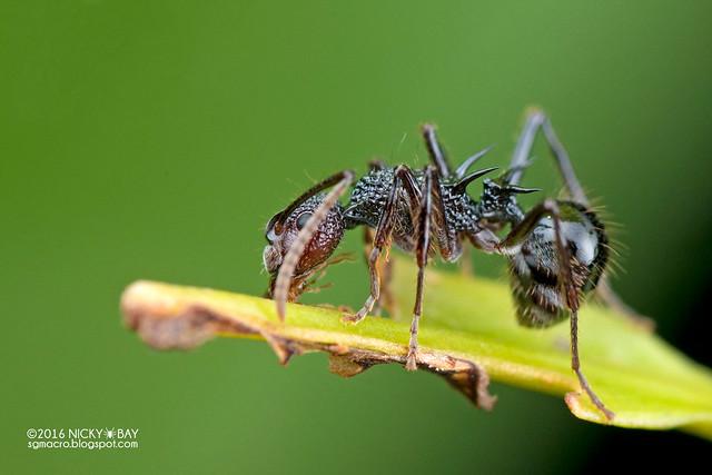 Ant (Polyrhachis sp.) - DSC_8130