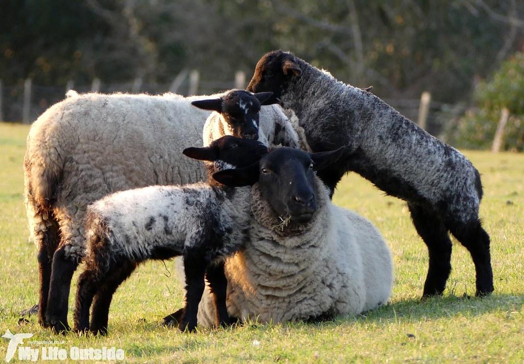 P1000547 - Lambs at play