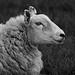Overly sharpened sheep