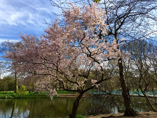 St James's Park Cherry Blossom 2016