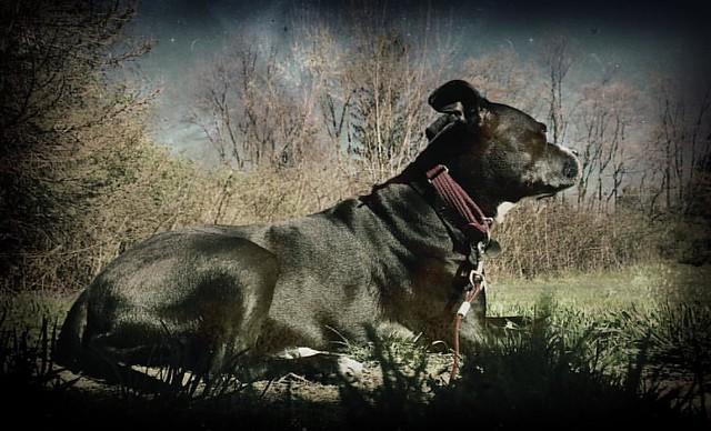 Sundog #dogs #pitbulls #pitbullterriers #sunbathing