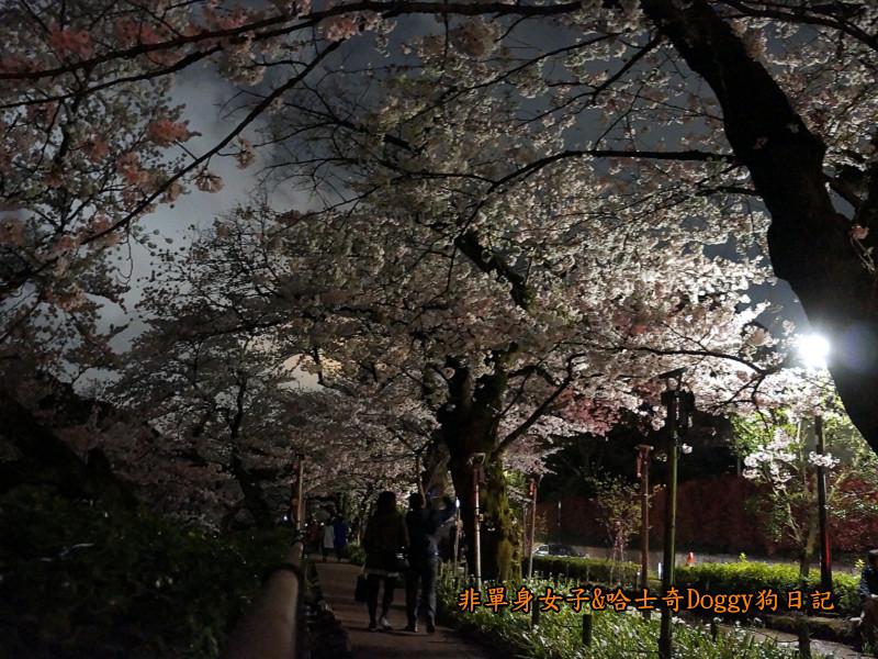 日本東京北之丸公園千鳥之淵賞夜櫻花10