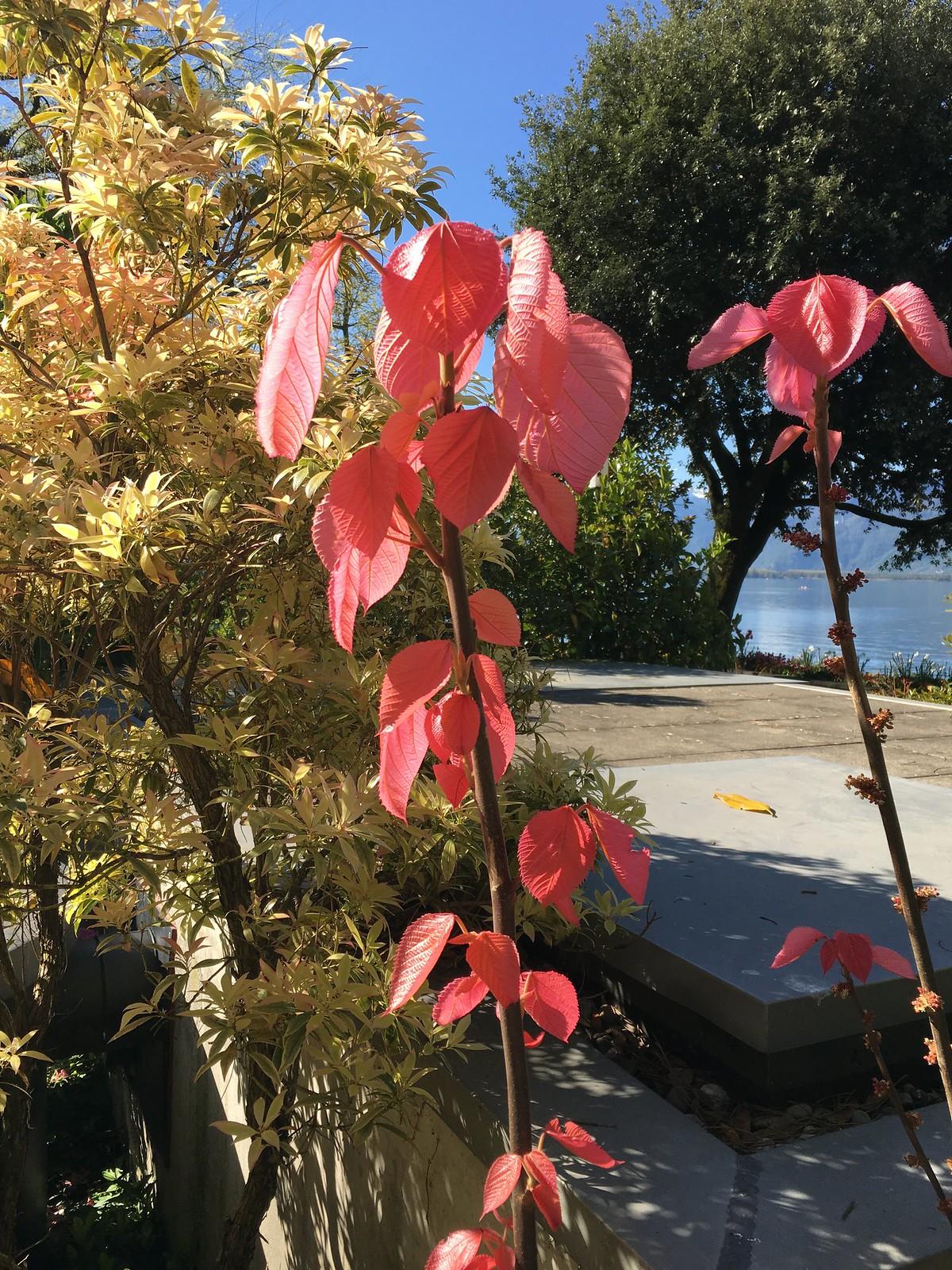 Plante inconnue à feuilles roses 26727427605_d5ca6543d3_h