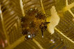 マツカサウミウシ属の一種 6
