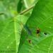 Anisoscelis foliacea by LPJC